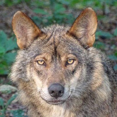 Polak Polakowi wilkiem?